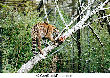Tiger eating a piece of meat