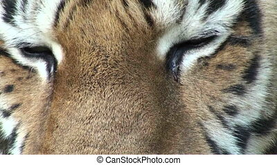 tiger eyes - simerian tiger is relaxing and resting, close-...