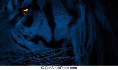 Tiger Face At Night With Glowing Eye - Dramatic closeup of...