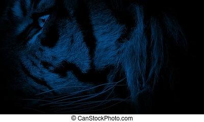 Tiger Face Closeup At Night