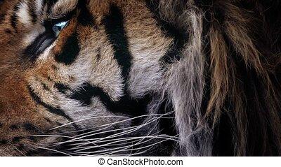 Tiger Face Closeup