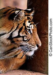 Tiger Face Side Profile