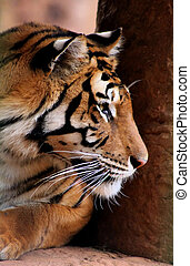 Tiger Face Side Profile - Close-up Side Profile Picture of...