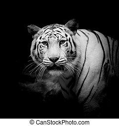 tiger, fehér, fekete, &