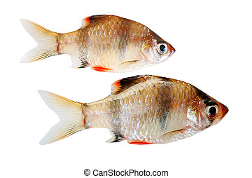 Tiger Fishes