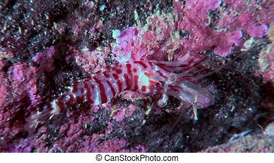 Tiger glass shrimp masked in search of food underwater seabed of White Sea.