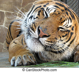 Tiger grimaces - The tiger is making an amusing grimace