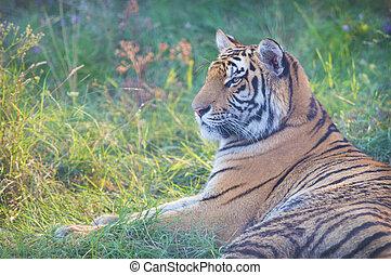 tiger, groß, gras, lies