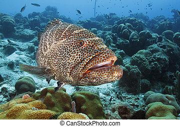 Tiger Grouper (Mycteroperca tigris) Patrolling a Coral Reef - Bonaire