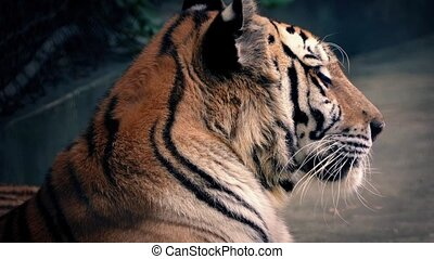 Tiger Growls And Yawns - Large Bengal tiger growling and...