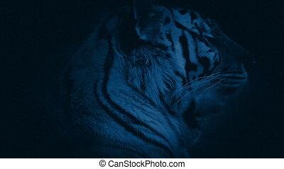 Tiger Growls At Night - Dramatic closeup of tiger in the...