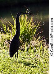 Tiger-heron bird walking on the grass