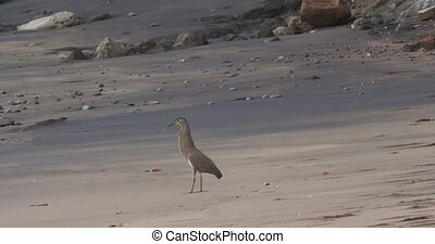 Tiger Heron hunting off a beach in Costa Rica.