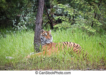 Tiger Hugging a Tree in the Tall Grass