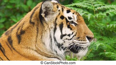 Tiger in forest during rainy season - Close-up of tiger ...