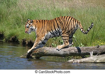 Tiger in the Wild - Siberian tiger series