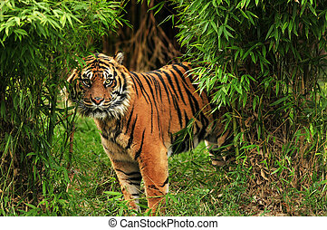 Tiger in the woods - Scary looking male royal bengal tiger...
