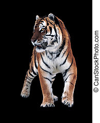 Tiger isolated at black standing  full size