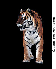 Tiger isolated on black full size