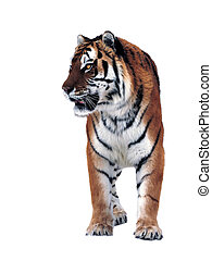 Tiger isolated on white full size