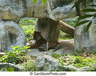 tiger, jardim zoológico, rocha