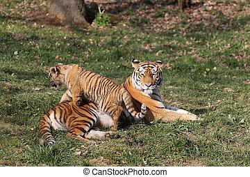 tiger- junges