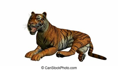 tiger, kładzenie