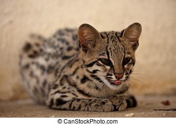 Brazylia Tiger Albo Ocelot Kot