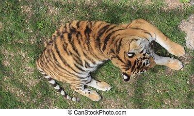 tiger, leżący, na mielonym
