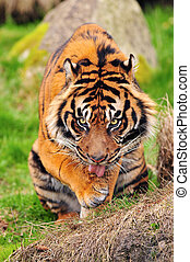 Tiger licking its paws - Hungry tiger licks its paws staring...