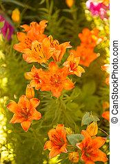 Tiger lilies blooming bush
