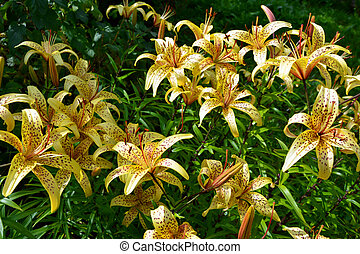 Tiger Lily Bush. Flowering shrubs in the garden on a Sunny day.