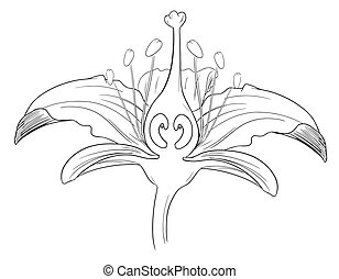Tiger lily flower outline - Tiger lily flower black outline