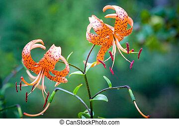 Tiger lily (Lilium lancifolium)