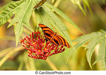 Tiger longwing butterfly, Heliconius hecale, in a botanical...