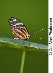 Tiger Longwing Butterfly - Tiger Longwing butterfly resting...