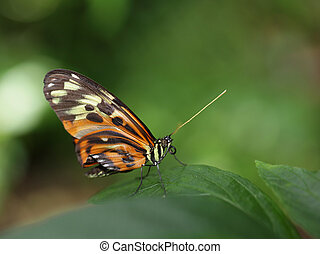 Tiger Longwing Butterfly - Tiger Longwing heliconius...