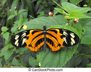 Tiger Longwing butterfly - Tiger Longwing (Heliconius hecale...