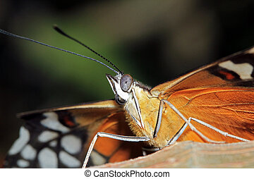Tiger Longwing - Close-up of a Tiger Longwing Butterfly (aka...