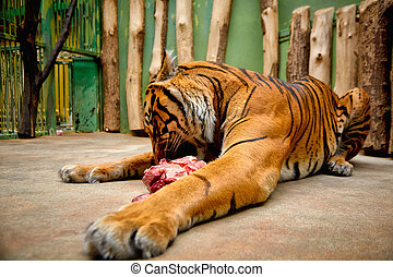 Tiger lying eating a piece of meat. High quality photo