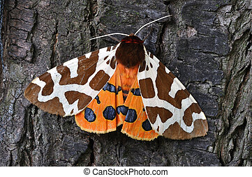 Tiger Moth - Macro of tiger moth (Arctia caja) sitting on a ...