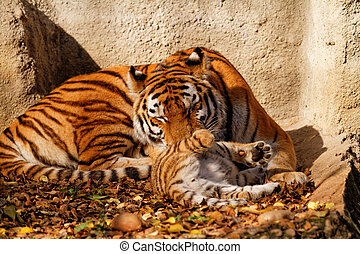 Tiger mum - The tiger mum in the zoo with her tiger cub -...