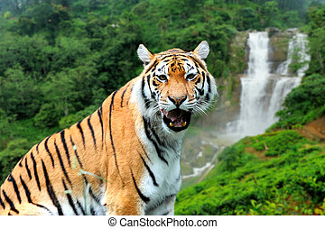 Tiger on the background of a waterfall