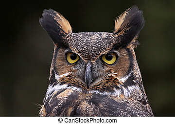 Tiger Owl Face (Bubo virginianus) - A close-up of a Great ...