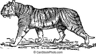 tiger, (panthera, tigris), weinlese, engraving.