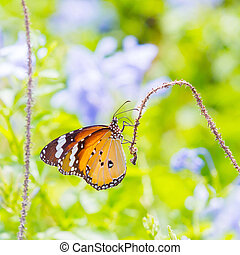 tiger, pianura, farfalla