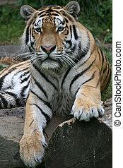 Tiger - Beautiful Siberian Tiger