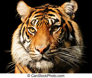 Tiger Portrait - Portait of a majestic Sumatran tiger over...