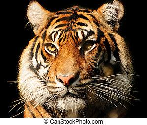 Portait of a majestic Sumatran tiger over black