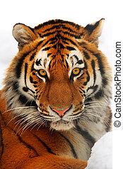 Tiger portrait - Yiung tiger portrait. Novosibirsk ZOO